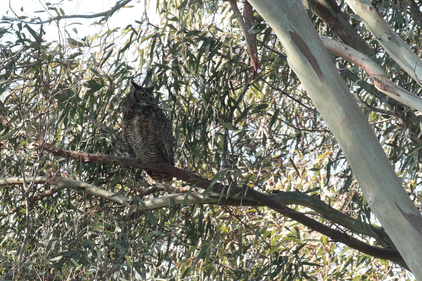 Great Horned Owl 2018 016