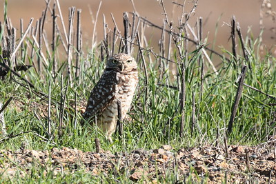 Burrowing Owl 2018 082