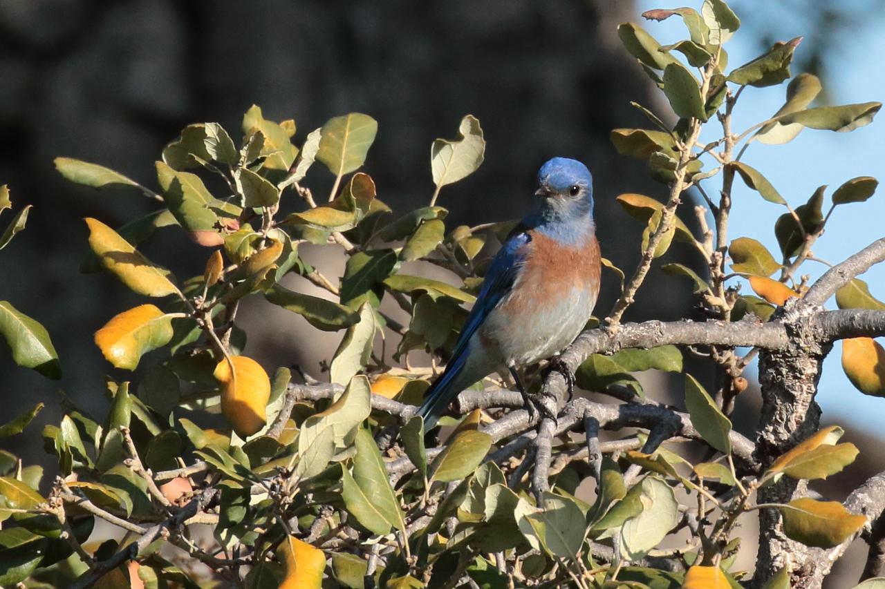 Western Bluebird 2018 034