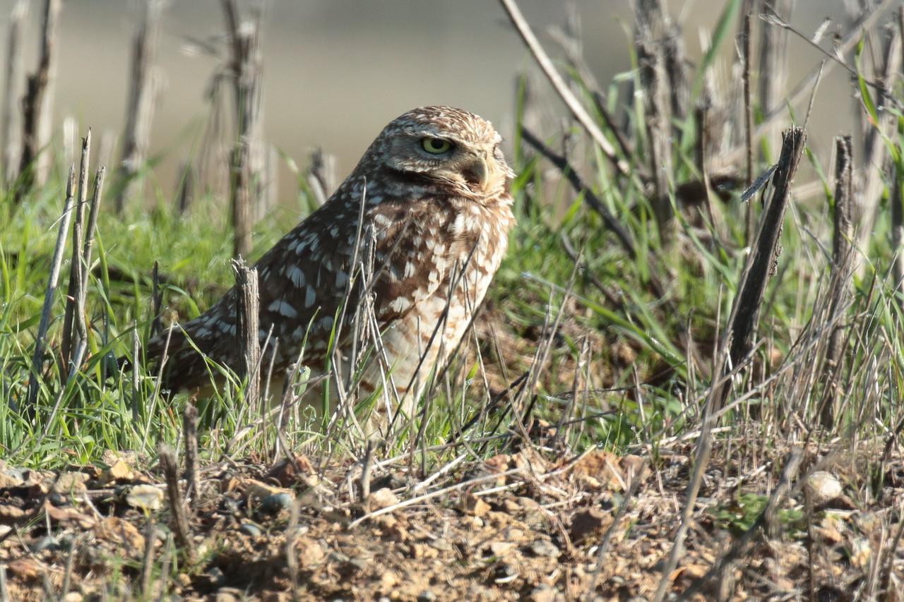 Burrowing Owl 2018 042