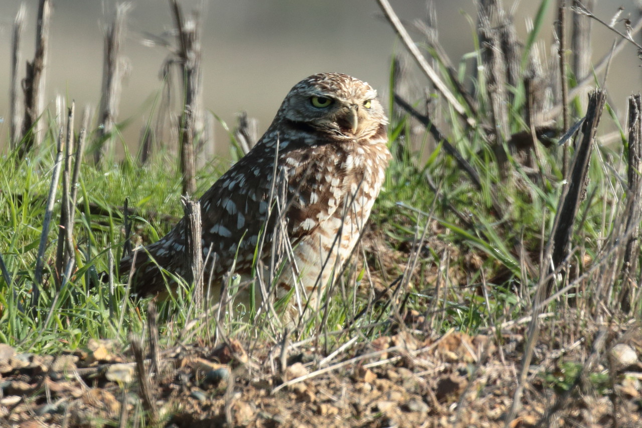 Burrowing Owl 2018 048