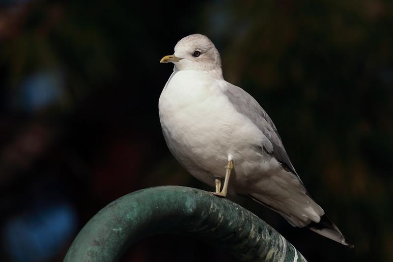 Mew Gull 2018 009