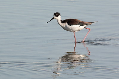 Black-necked Stilt 2018 093