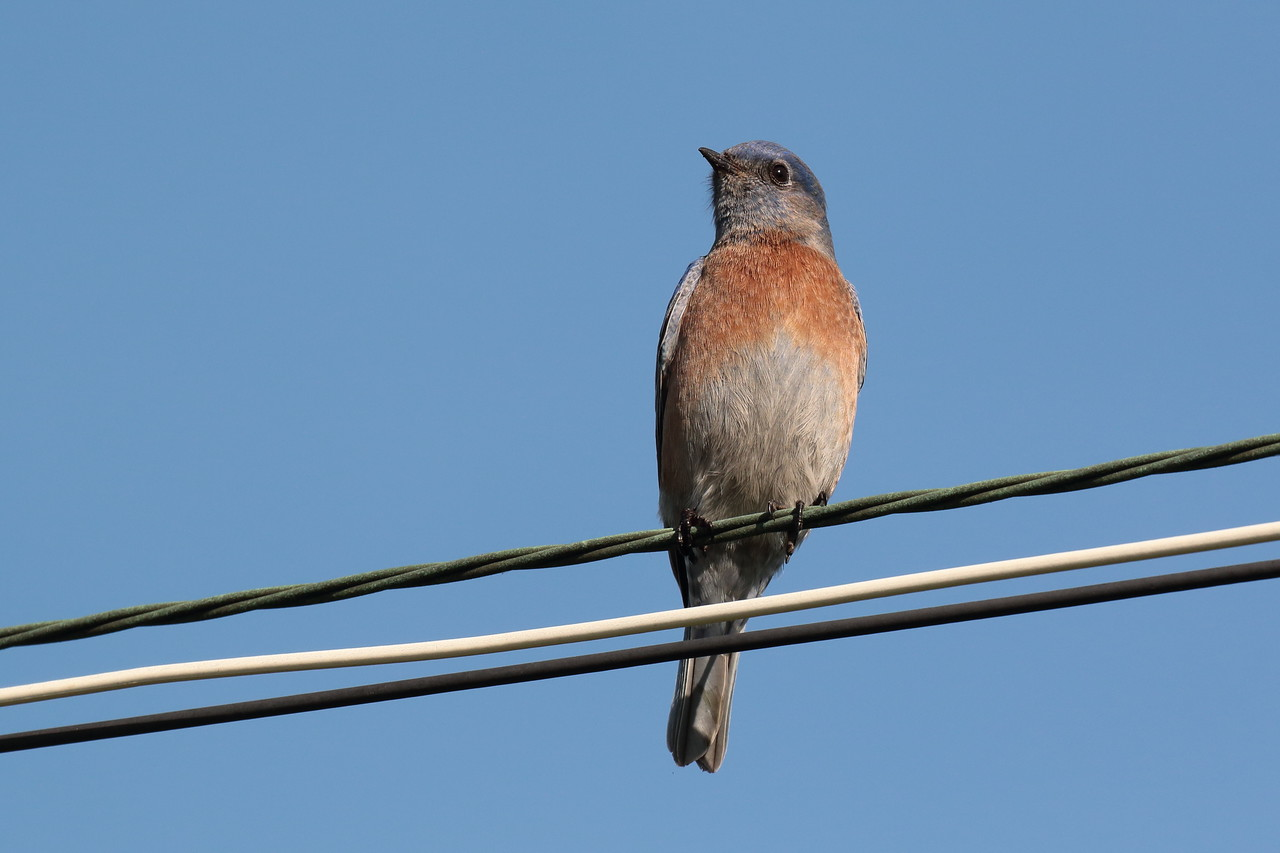 Western Bluebird 2018 039