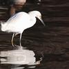 Snowy Egret 2015 001