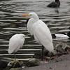 Snowy Egret Great Egret 2016 016