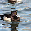 13 2 Tufted Duck 009