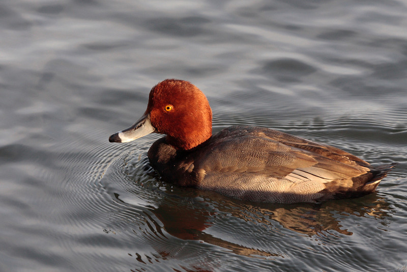 13 2 Redhead 143