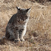 As I was leaving, I found the Bobcat out in the open in one of the fields.