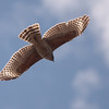 Red-shouldered Hawk 0141