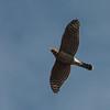 Cooper's Hawk 0100