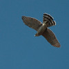 Cooper's Hawk 0095