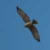 Broad-winged Hawk 0079