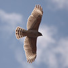 Red-shouldered Hawk 0137