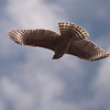 Red-shouldered Hawk 0144