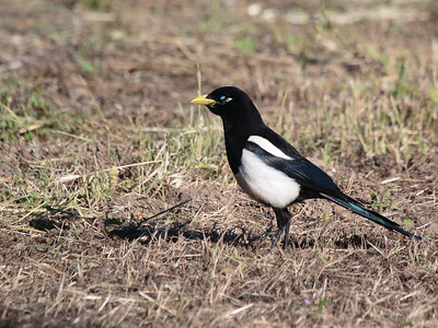 Yellow-billed Magpie 2016 037