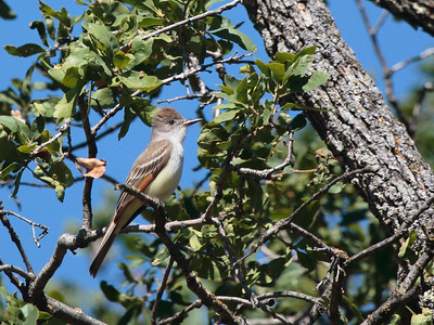 Ash-throated Flycatcher 2016 065