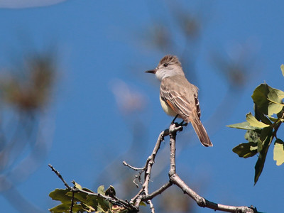 Ash-throated Flycatcher 2016 093