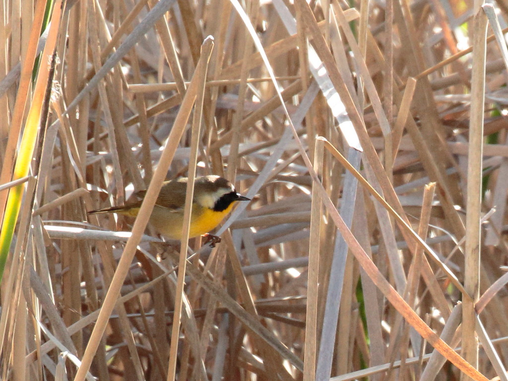 Common Yellowthroat 2017 _MG_0027