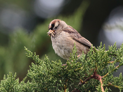 White-crowned Sparrow 2015 110