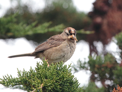 White-crowned Sparrow 2015 065