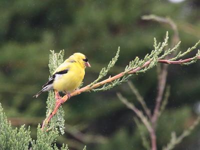 American Goldfinch 2015 012