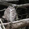 Great Horned Owl 0110
