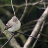 Pacific Slope Flycatcher 0075