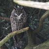 Great Horned Owl 0077