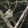 Pacific Slope Flycatcher 0060