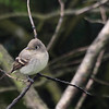 Pacific Slope Flycatcher 0076