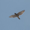 Broad-winged Hawk 0078