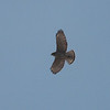 Broad-winged Hawk 0083