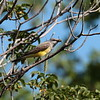 Western Kingbird 2018 065