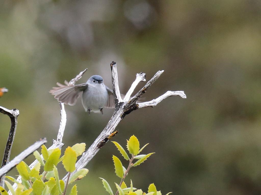 Blue-gray Gnatcatcher 2017 043