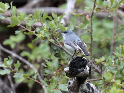 Blue-gray Gnatcatcher 2017 027