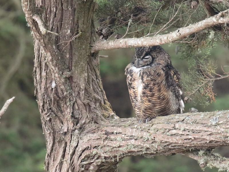 Great Horned Owl 2016 017