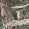 Great Horned Owl 2016 017