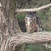 Great Horned Owl 2016 012