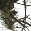 Chestnut-sided Warbler 2016 036
