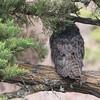 Great Horned Owl 2016 008