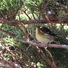Blackburnian Warbler 2017 036