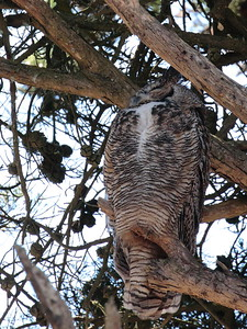 Great-horned Owl 2017 049