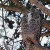 Great-horned Owl 2017 049
