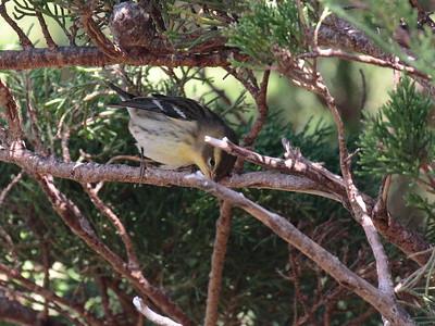 Blackburnian Warbler 2017 038