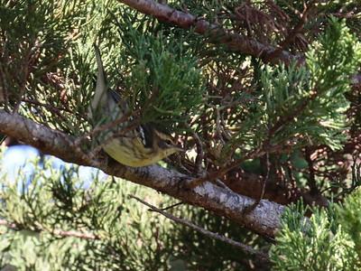 Prairie Warbler 2017 016