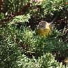Prairie Warbler 2017 031