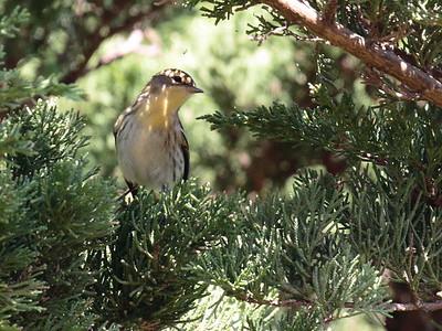 Blackburnian Warbler 2017 023
