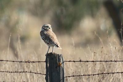 Burrowing Owl 2017 010