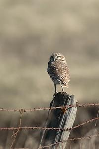 Burrowing Owl 2017 022